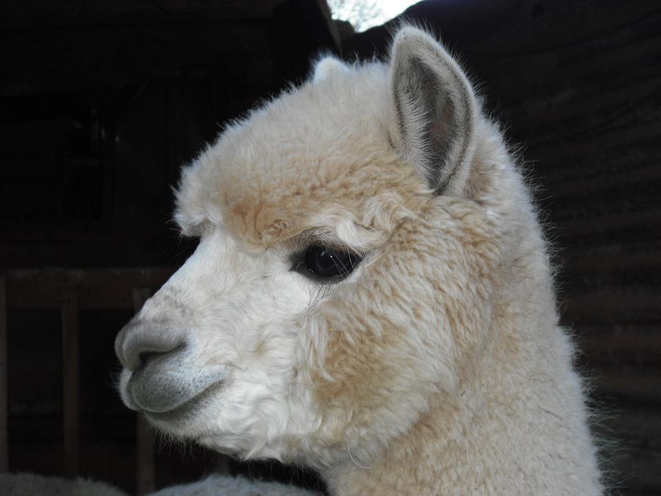 alpaca-172720_960_720