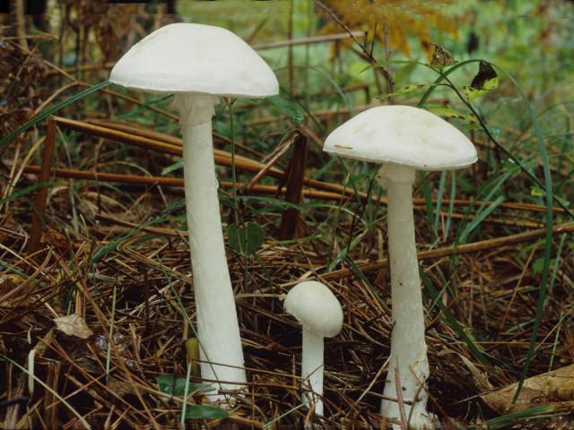 Amanita_virosa_Destroying_Angel