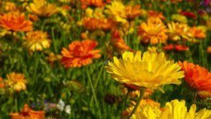 marigold-555811_960_720